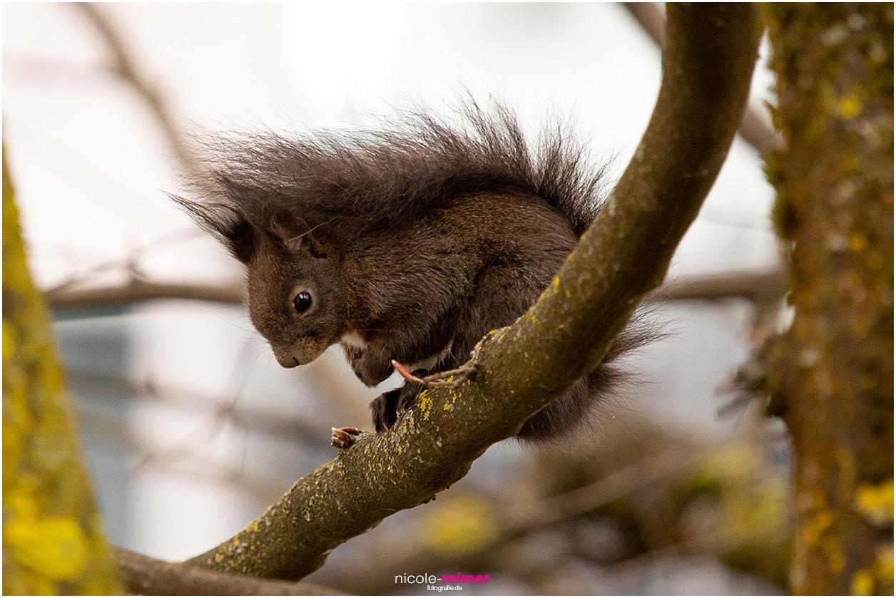 Braunes Eichhörnchen kuschelt sich bei schlechtem Wetter auf einem Ast zusammen - Nicole Reimer Fotografie