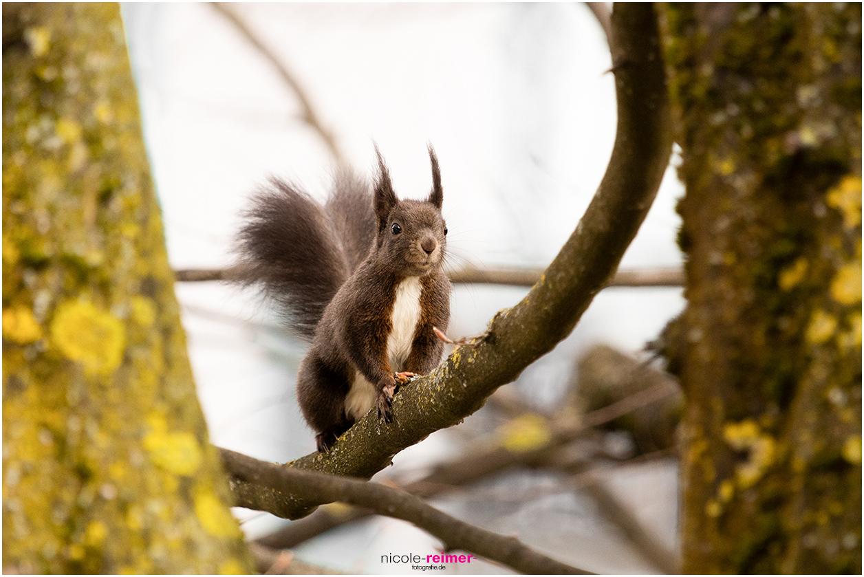 Dunkles Eichhörnchen auf einem Ast - Nicole Reimer Fotografie