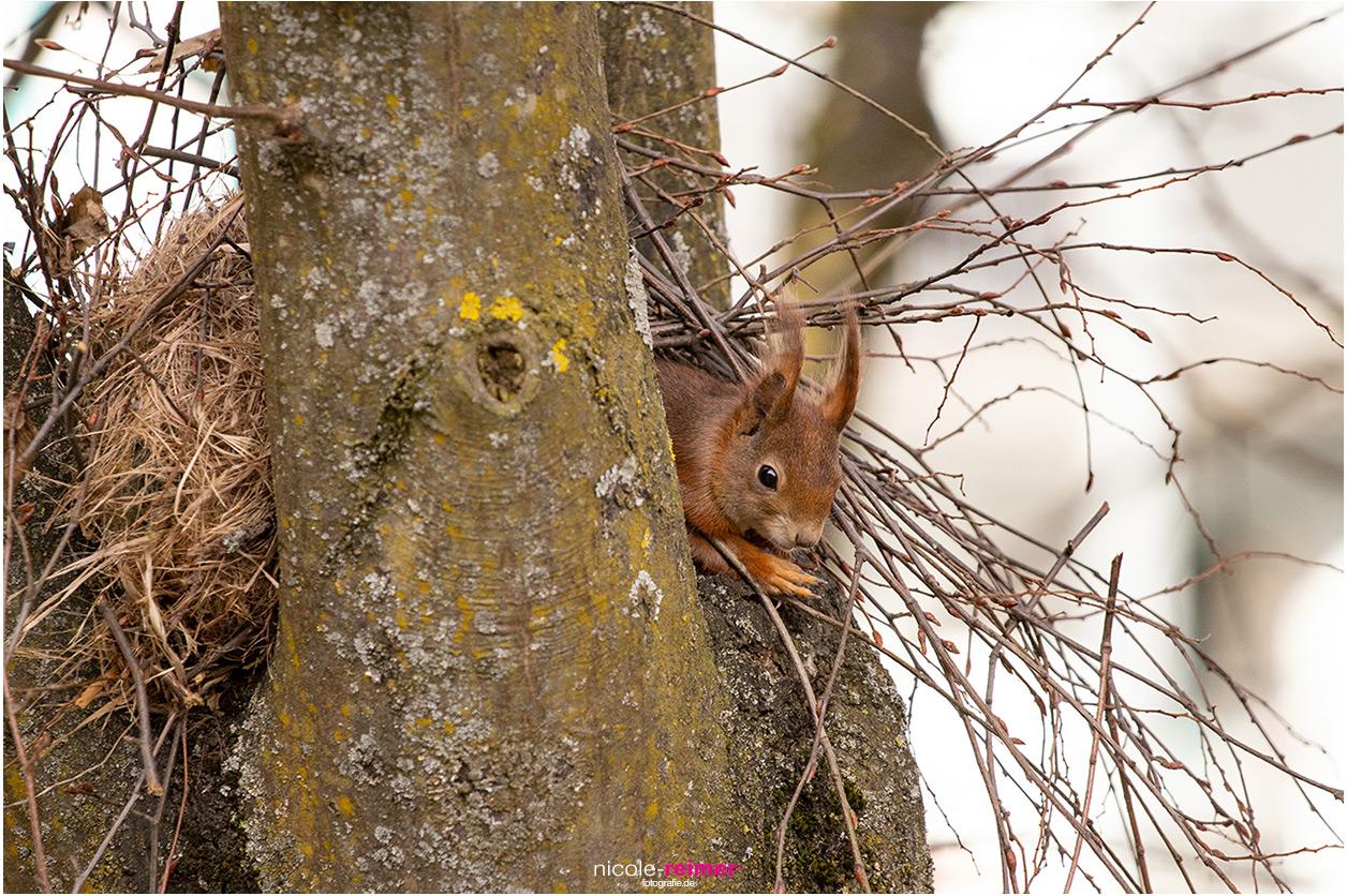 Eichhörnchen schaut aus seinem Kobel, Eichhörnchen schaut aus seinem Nest, Nicole Reimer Fotografie