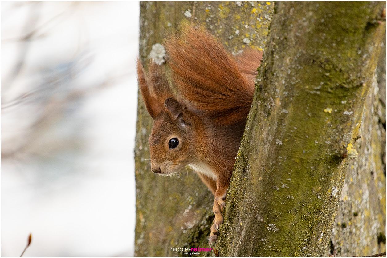 Portrait eines roten Eichhörnchens - Nicole Reimer Fotografie