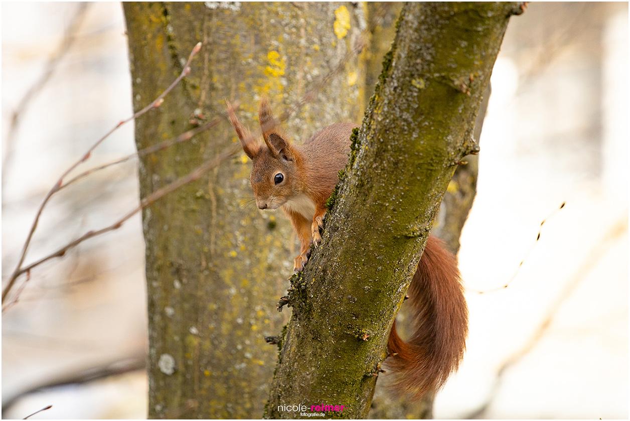 Rotes Eichhörnchen sitzt auf Ast im Baum, Nicole Reimer Tierfotografie