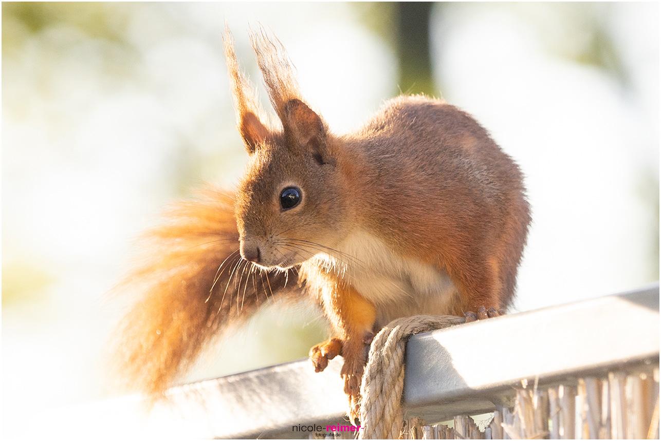 Mrs. Puschel, das rote Eichhörnchen im Profil auf dem Balkongeländer fotografiert - Nicole Reimer Fotografie