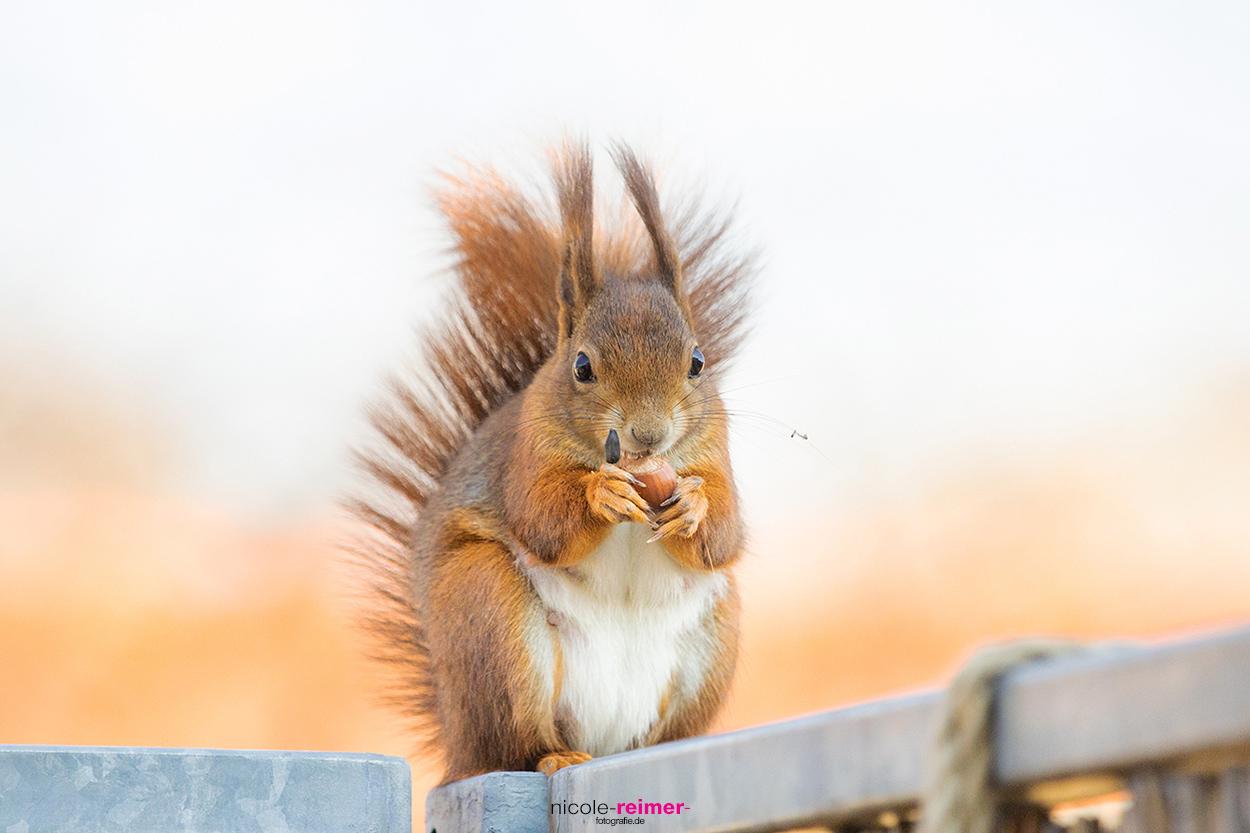 Mrs. Puschel, das rote Eichhörnchen isst eine Haselnuss auf dem Balkkongeländer - Nicole Reimer Fotografie