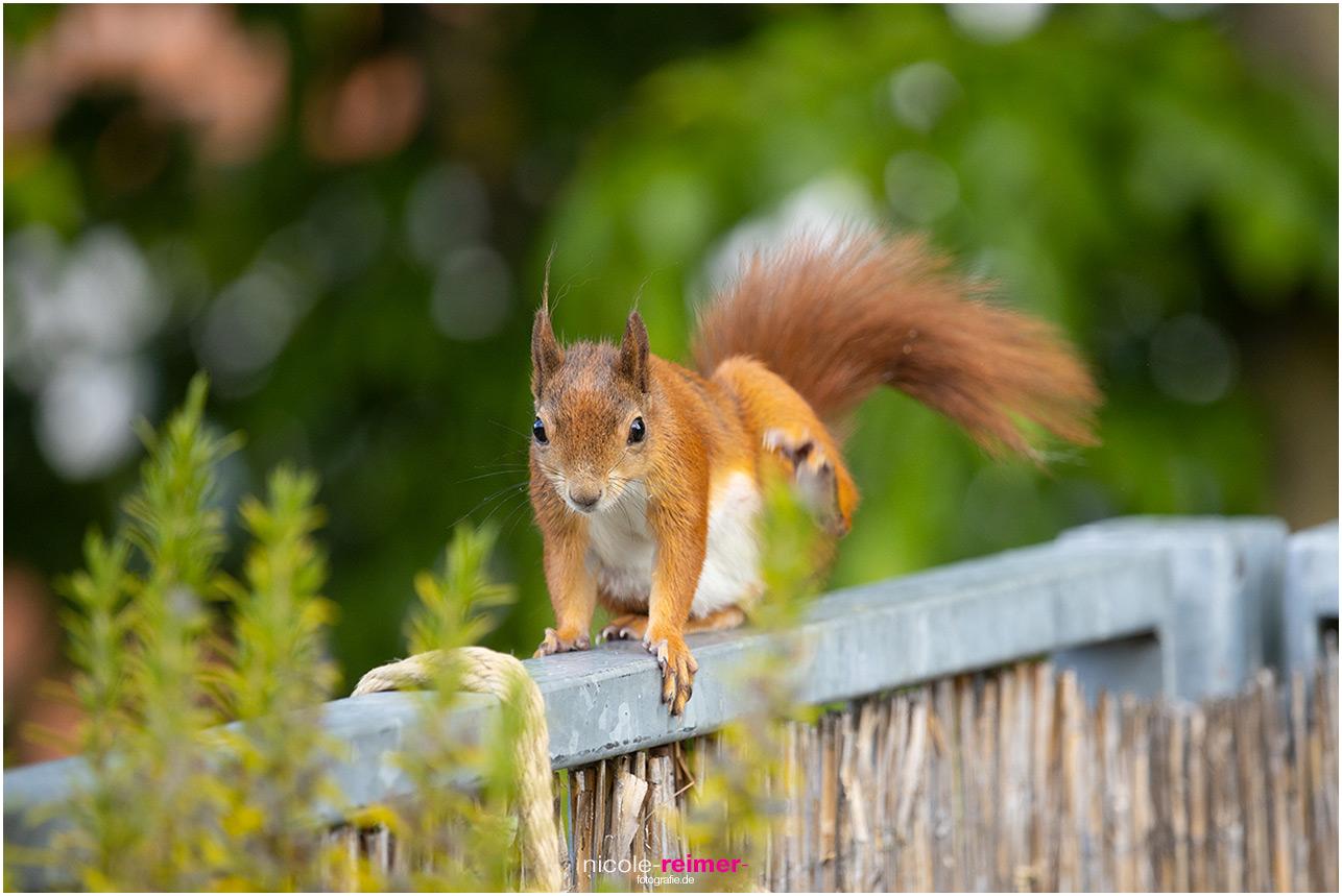 Eichhörnchen kratzt sich auf dem Balkongeländer - Nicole Reimer Fotografie