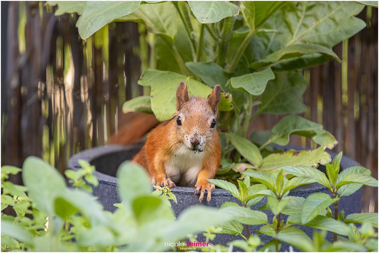 Eichhörnchen mit dreckiger Nase schaut aus einem Pflanztopf - Nicole Reimer Fotografie