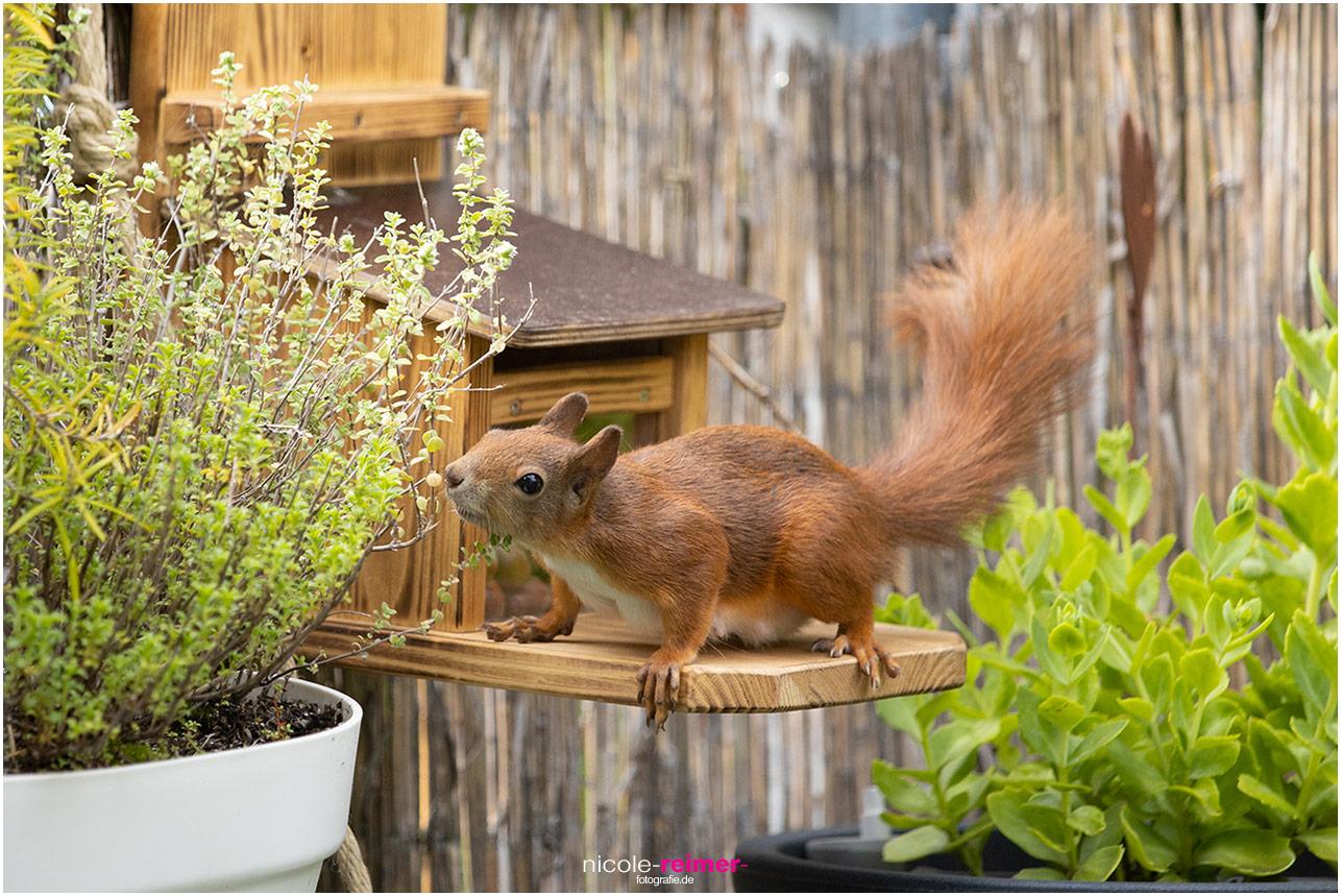 Mrs. Puschel, das rote Eichhörnchen riecht an Küchenkräutern - Nicole Reimer Tierfotografie