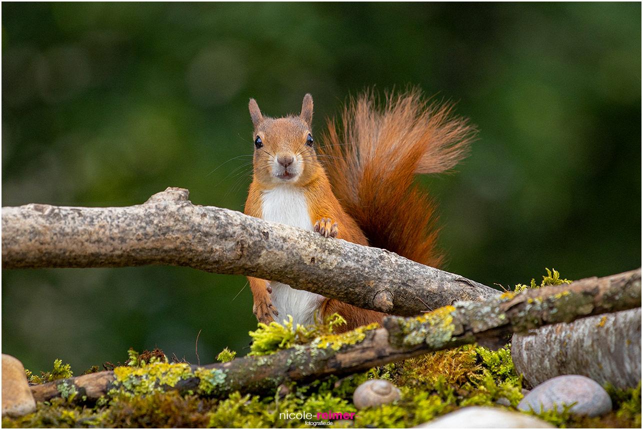Mrs. Puschel, das rote Eichhörnchen, schaut über einen Ast - Nicole Reimer Tierfotografie