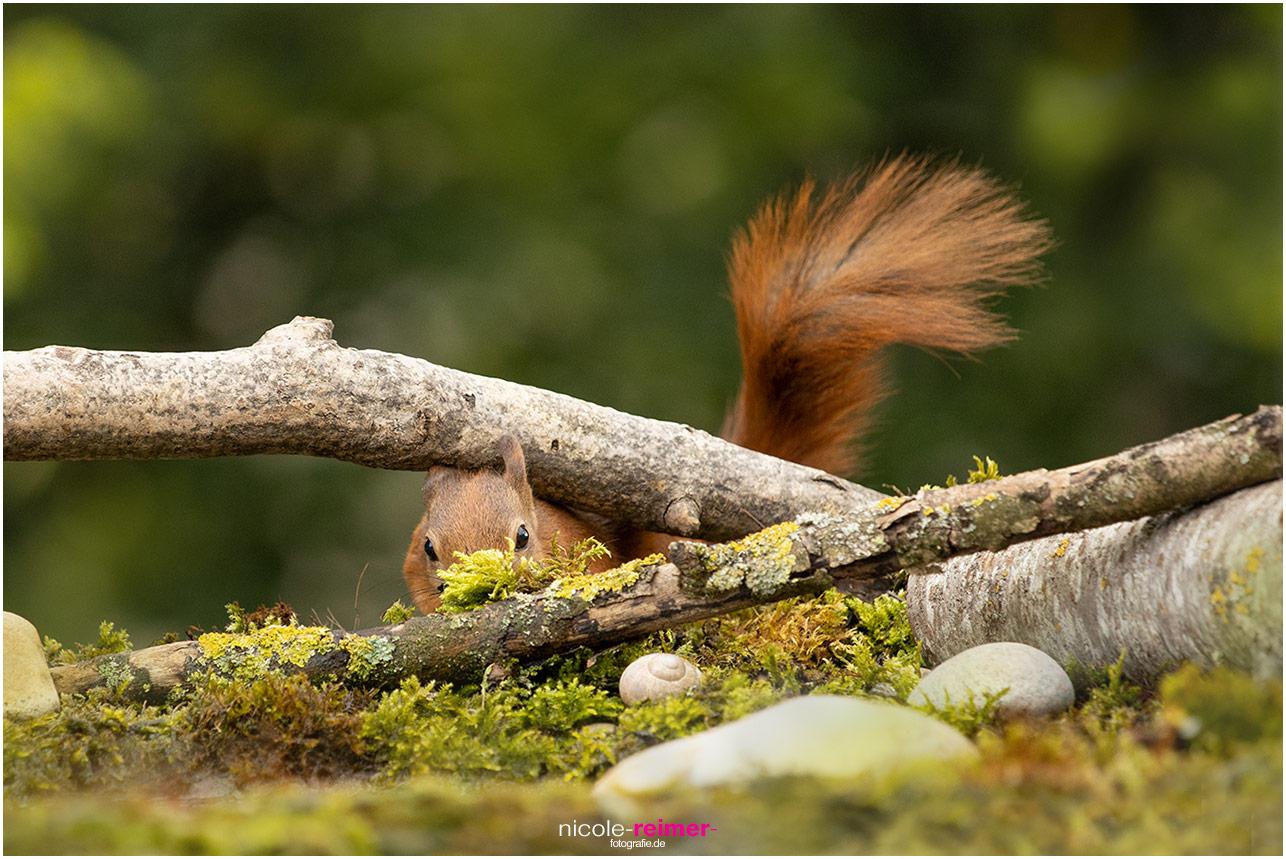 Mrs. Puschel, das rote Eichhörnchen schaut unter einem Ast hervor - Nicole Reimer Tierfotografie