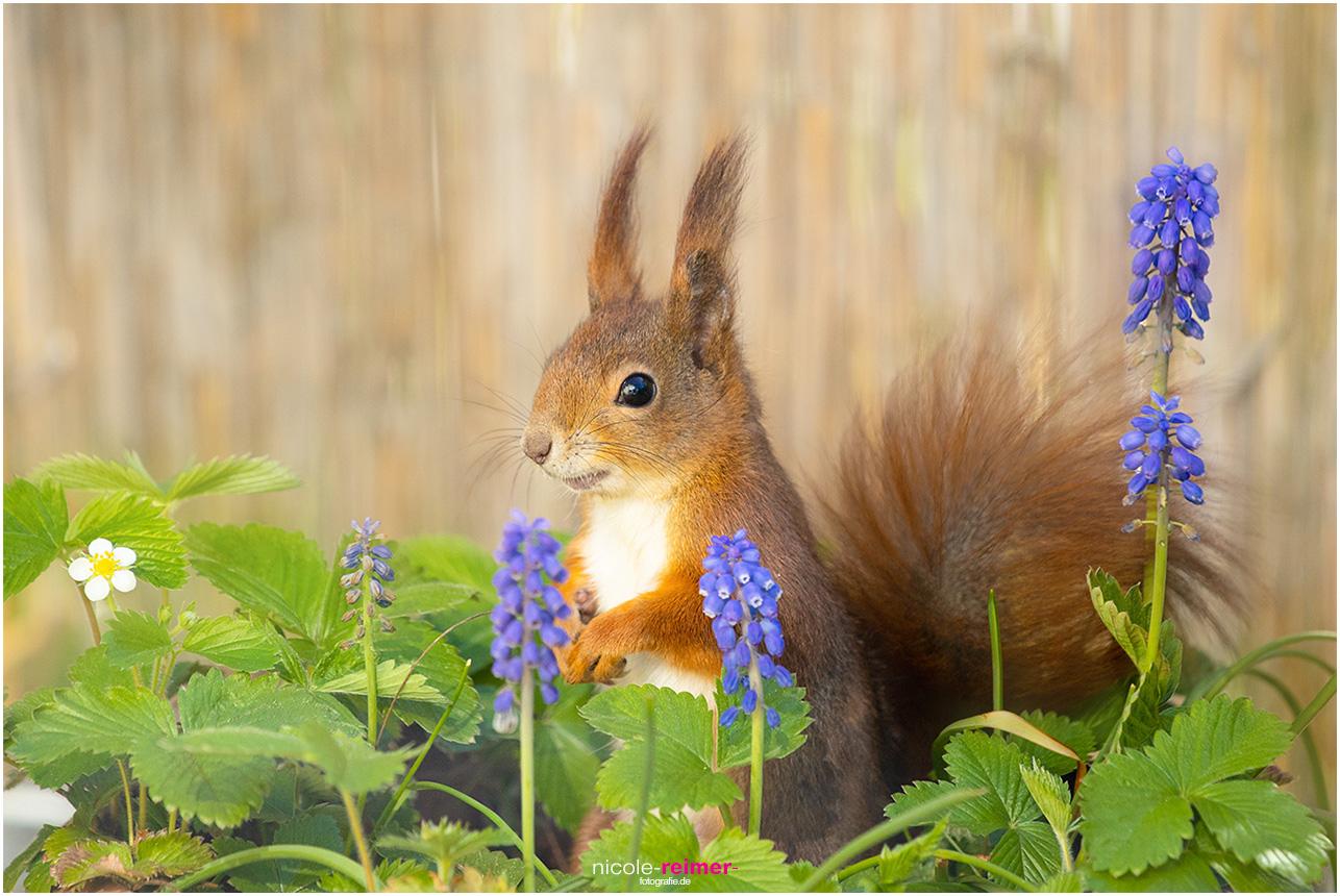 Mrs Puschel, das rote Eichhörnchen sitzt zwischen Hyazinthen und Erdbeeren - Nicole Reimer Fotografie