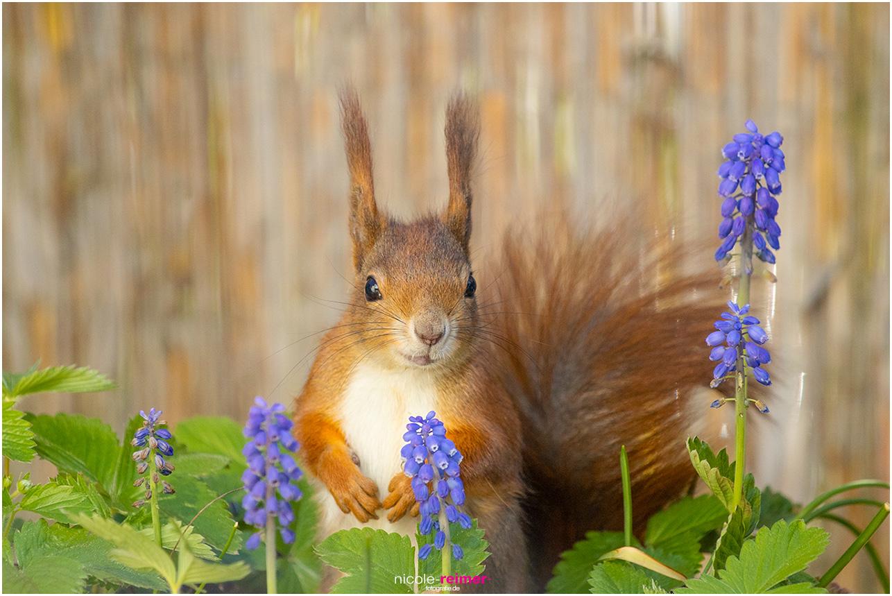 Mrs Puschel, das rote Eichhörnchen zwischen Blumen - Nicole Reimer Fotografie