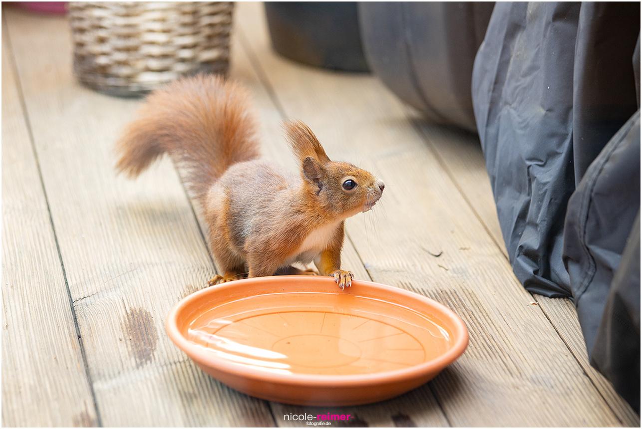 Mrs. Puschel, das rote Eichhörnchen drinkt etwas - Nicole Reimer Fotografie