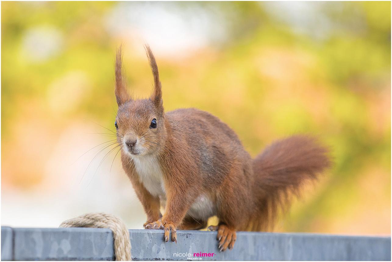 Mrs. Puschel, das rote Eichhörnchen balanciert auf dem Balkongeländer - Nicole Reimer Fotografie