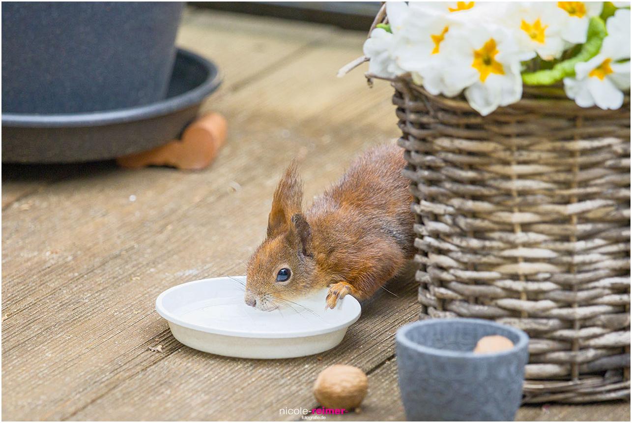 Mrs. Puschel, das rote Eichhörnchen drinkt auf dem Balkon - Nicole Reimer Fotografie