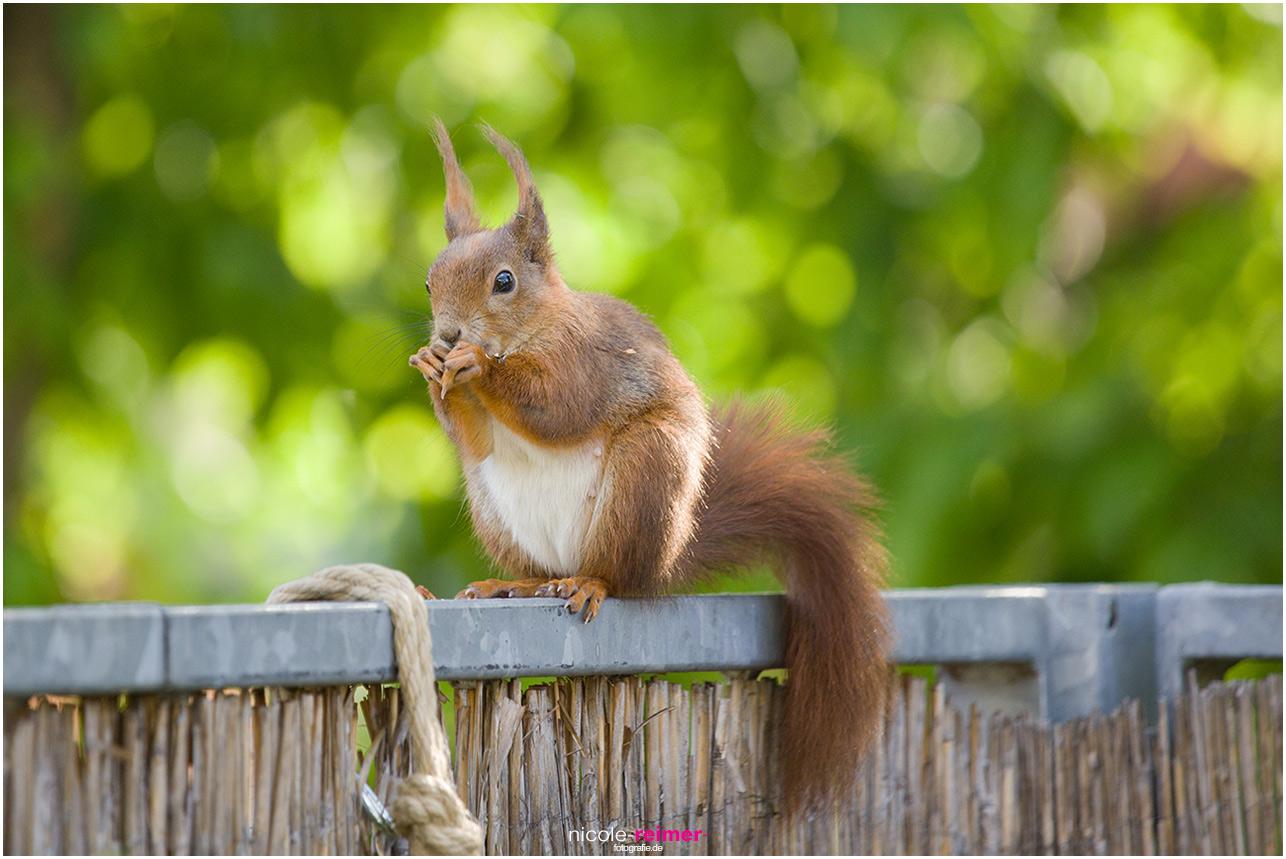 Mrs. Puschel, das rote Eichhörnchen isst auf dem Balkongeländer - Nicole Reimer Fotografie