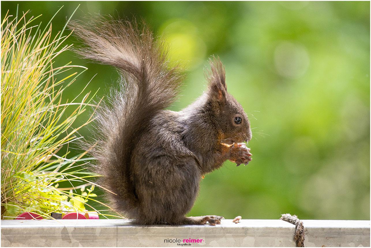 Braunes kleines Eichhörnchen sitzt auf dem Balkongeländer und isst eine Nuss - Nicole Reimer Fotografie