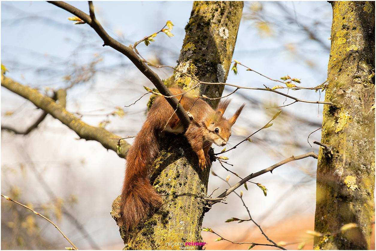 Mrs. Puschel, das rote Eichhörnchen chillt im Baum und beobachtet die Welt - Nicole Reimer Fotografie
