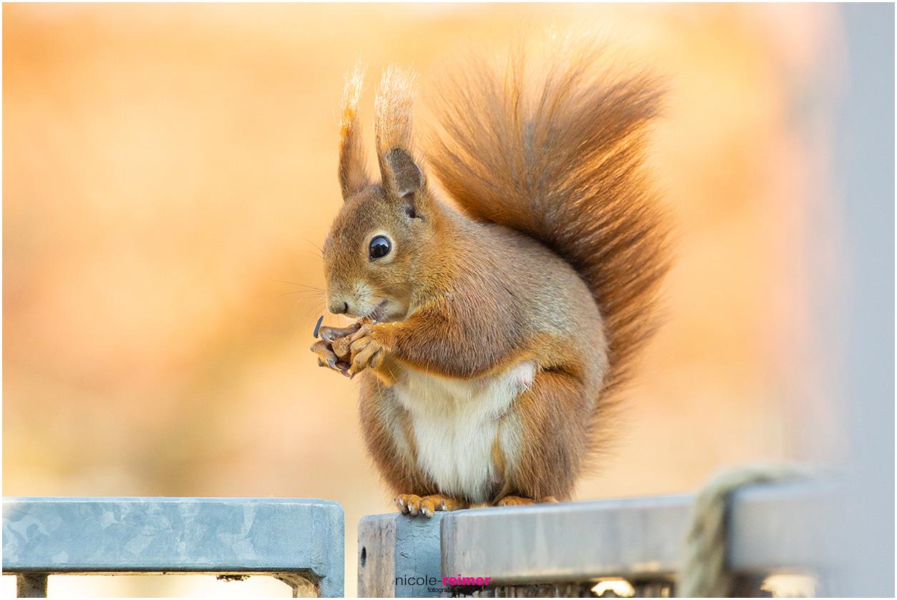 Mrs. Puschel, das rote Eichhörnchen freut sich über eine Haselnuss - Nicole Reimer Fotografie