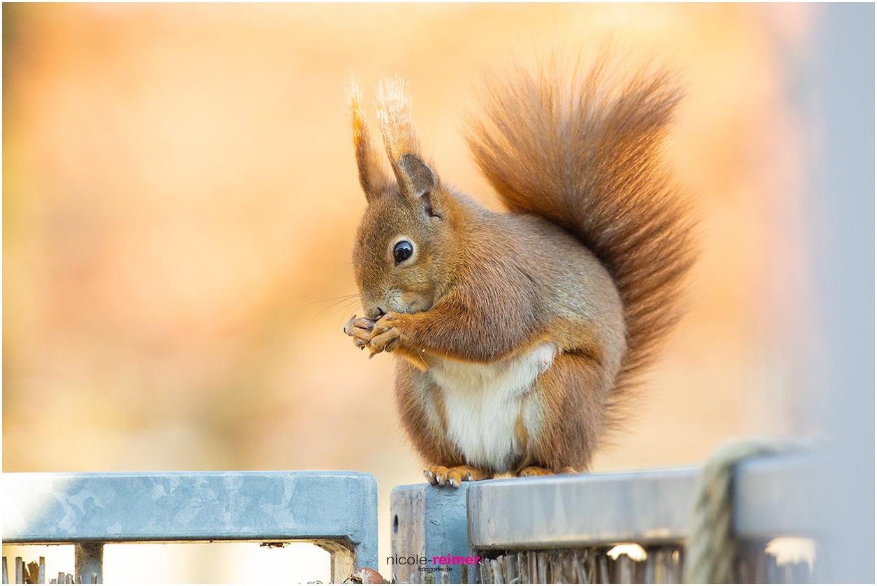 Mrs Puschel, das rote Eichhörnchen sitzt auf dem Balkongeländer und isst - Nicole Reimer Fotografie