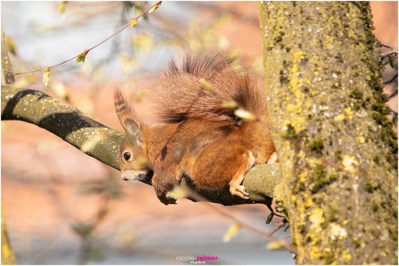 Mrs Puschel, das rote Eichhörnchen liegt auf einem Ast und genießt die Sonne - Nicole Reimer Fotografie