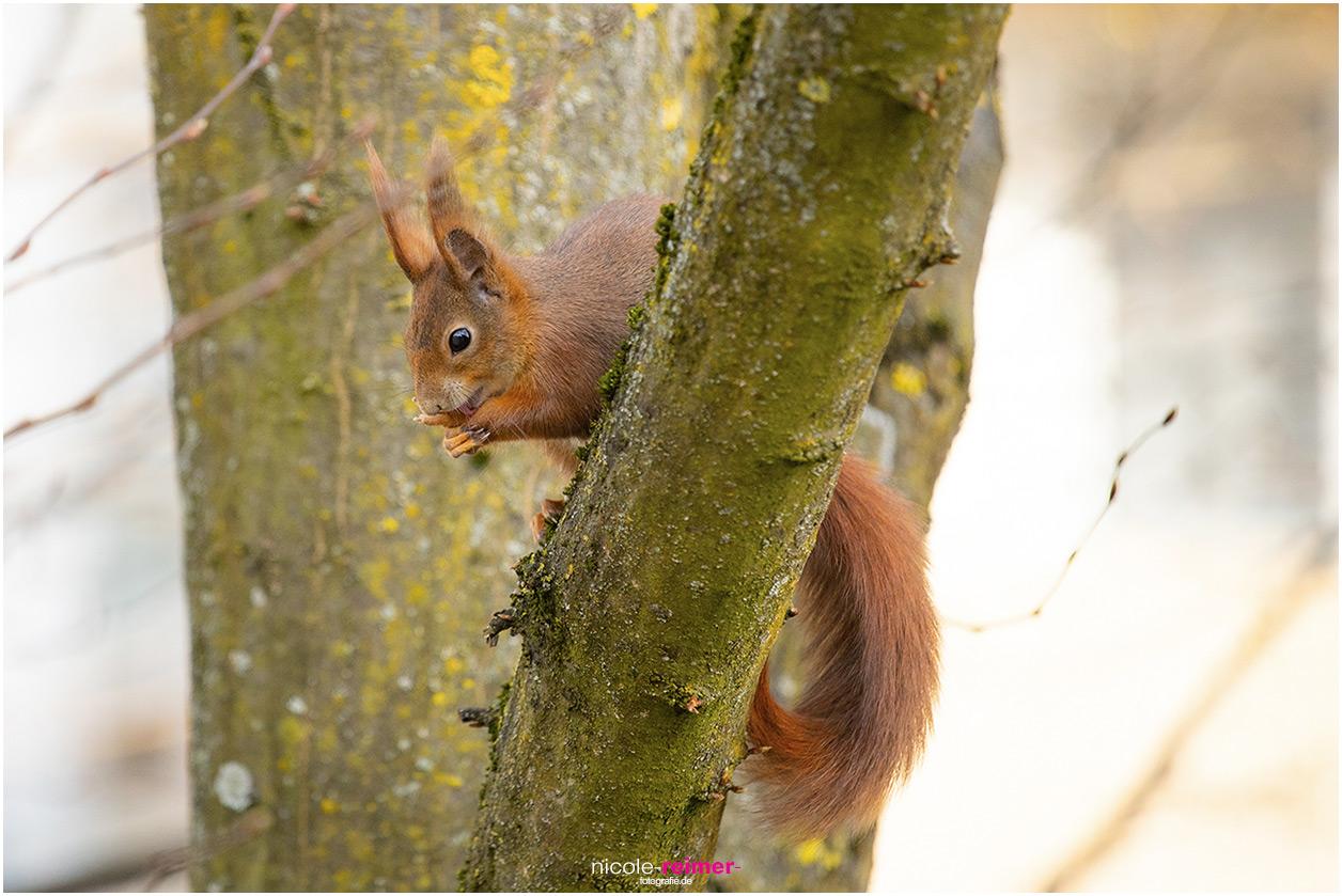Mrs. Puschel, das rote Eichhörnchen putzt sich - Nicole Reimer Fotografie
