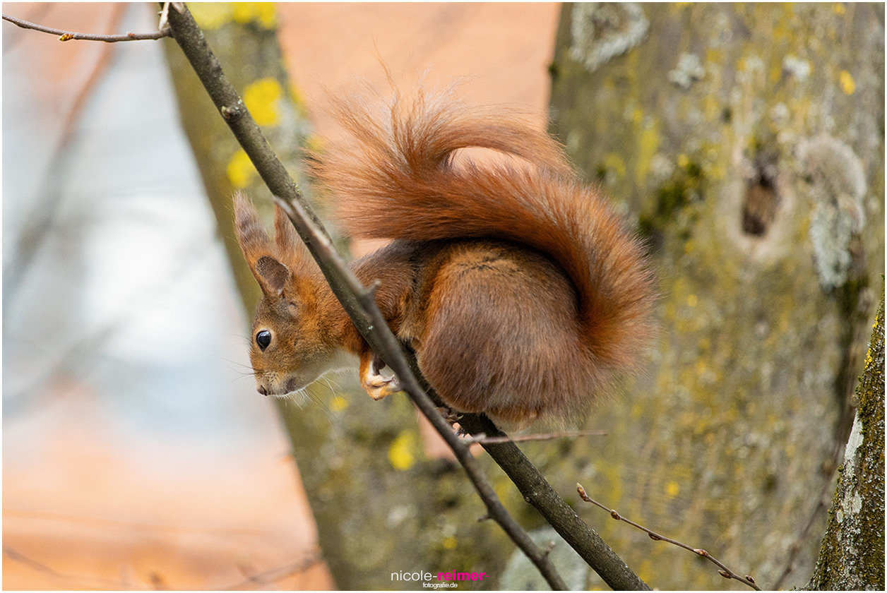 Mrs. Puschel, das rote Eichhörnchen sitzt auf einem kleinen Ast und klammert sich fest - Nicole Reimer Fotografie