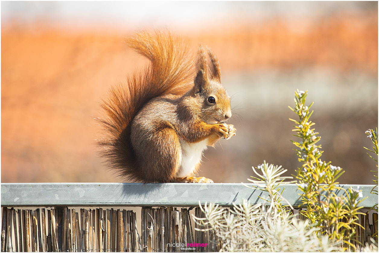 Rotes Eichhörnchen, Mrs. Puschel, sitzt auf dem Balkongeländer und isst eine Haselnuss - Nicole Reimer Tierfotografie