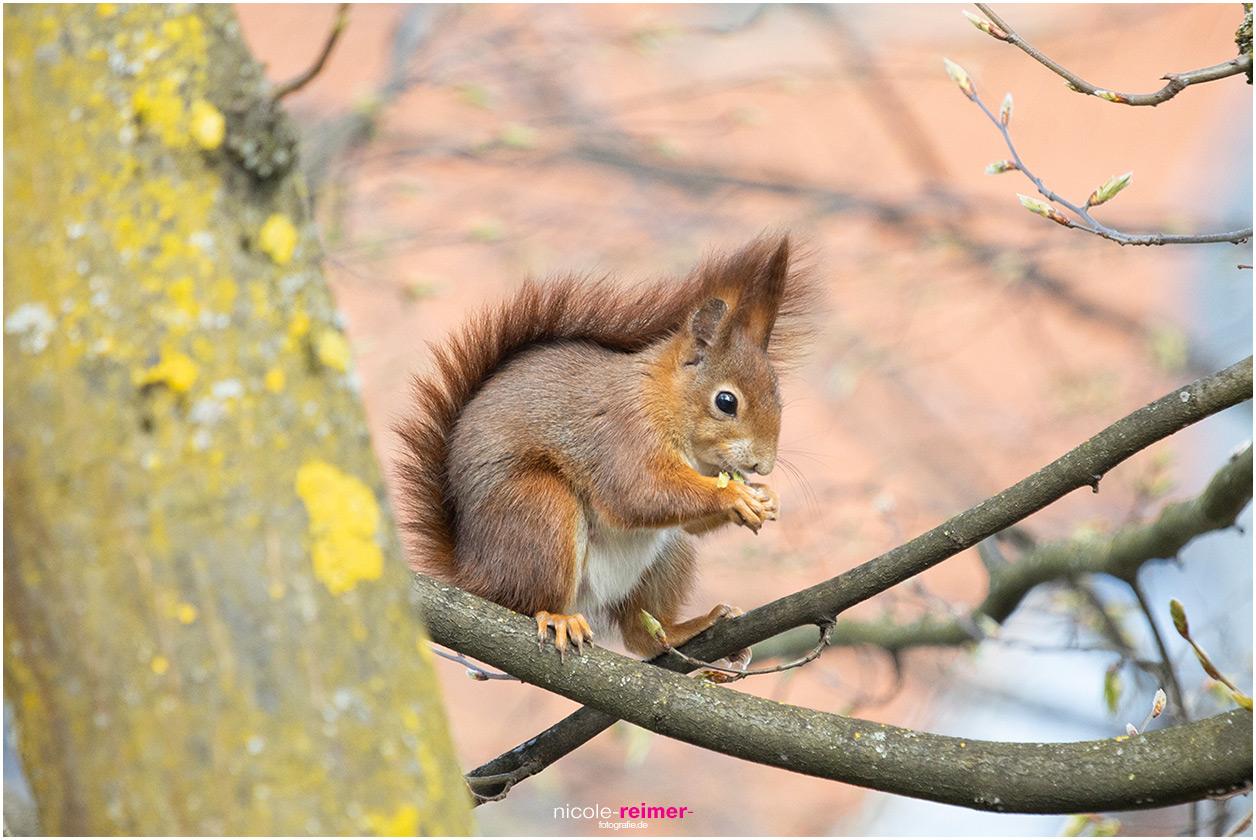 Mrs. Puschel, das rote Eichhörnchen, frisst eine Knospe - Nicole Reimer Tierfotografie