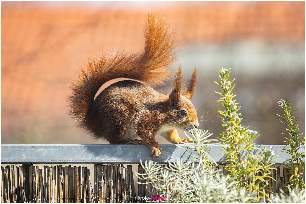 Mrs. Puschel, Rotes Eichhörnchen riecht an Blüte von Rosmarin, Nicole Reimer Fotografie