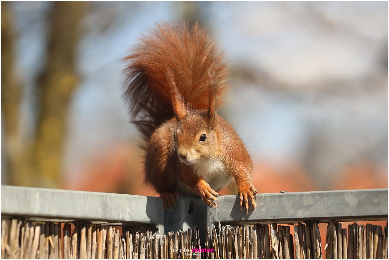 Mrs. Puschel, das rote Eichhörnchen sitzt auf dem Balkongeländer - Nicole Reimer Fotografie