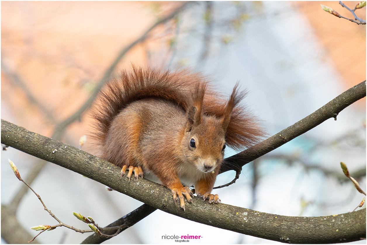 Mrs. Puschel, das rote Eichhörnchen sitzt auf einem Ast mit dem Rest einer Knopse im Maul, Nicole Reimer Fotografie