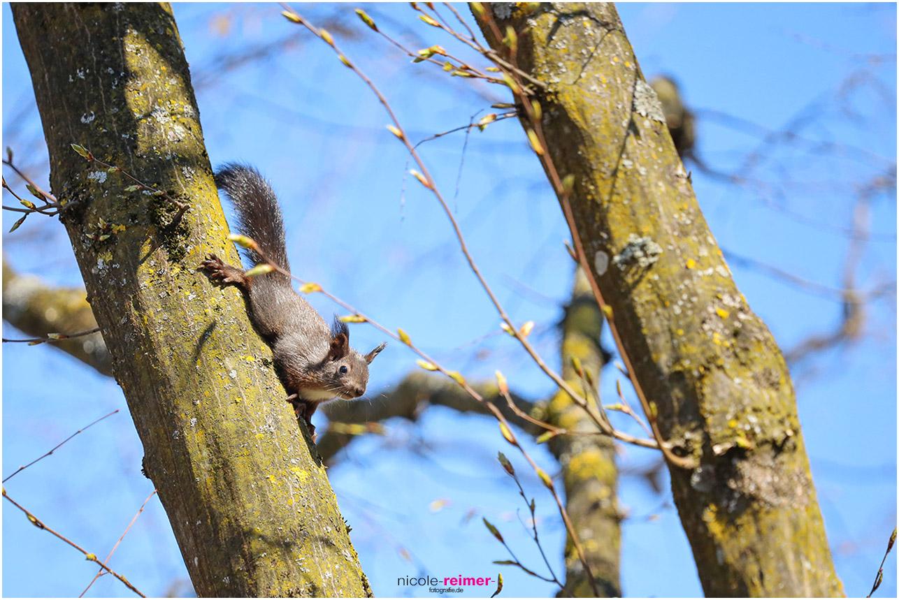 Kleines Eichhörnchen klettert einen Ast hinunter - Nicole Reimer Fotografie