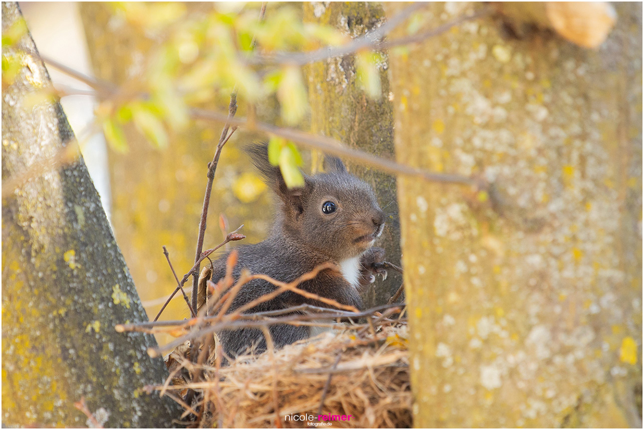 Baby Eichhörnchen sitzt auf dem Kobel und wartet auf die Mutter - Nicole Reimer Fotografie