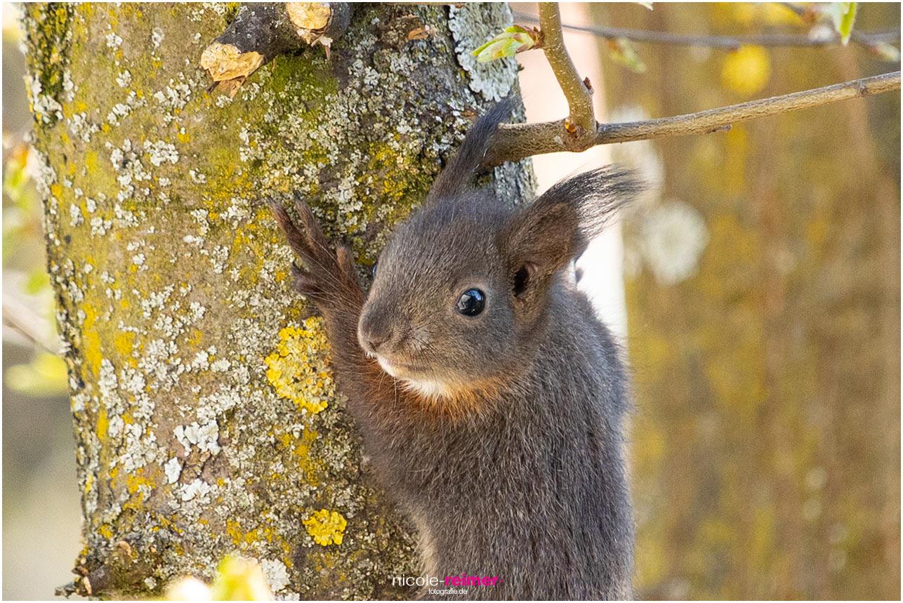 Junges Eichhörnchen klettert auf einen Ast - Nicole Reimer Fotografie