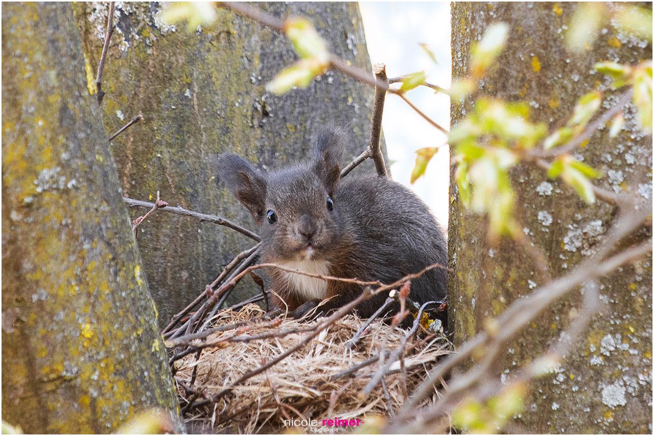 Junges Eichhörnchen betrachtet von seinem Kobel aus die Welt - Nicole Reimer Fotografie