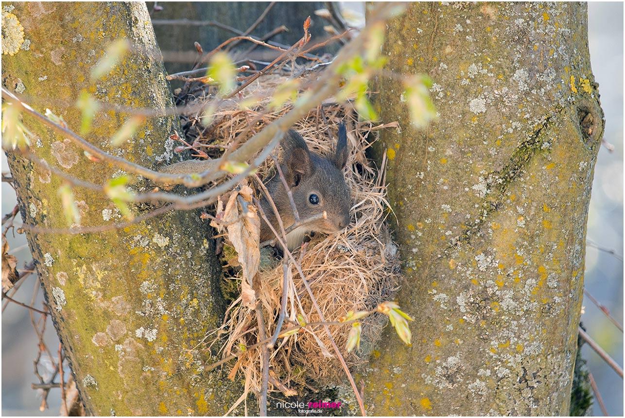 Baby Eichhörnchen schaut aus dem Kobel - Nicole Reimer Fotografie