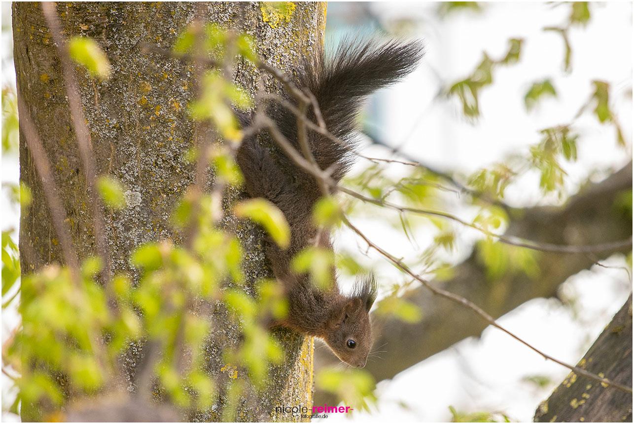 Eichhörnchen klettert den Baum hinunter - Nicole Reimer Fotografie