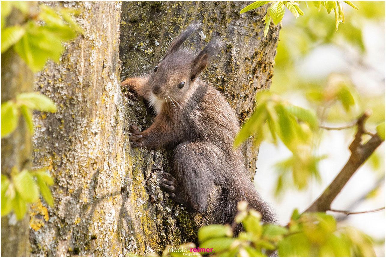 Eichhörnchenjunges sitzt auf einem Baum - Nicole Reimer Tierfotografie