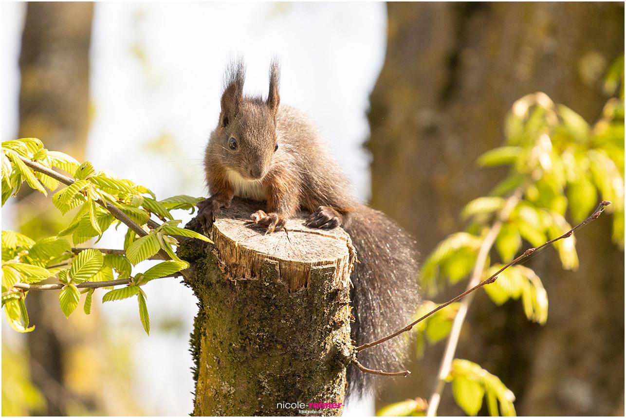 Baby Eichhörnchen sitzt auf einem abgesägten Ast in der Sonne - Nicole Reimer Fotografie
