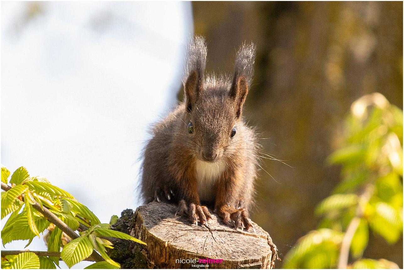 Kleines Eichhörnchen sitzt auf abgeschnittenem Ast und schaut in die Kamera - Nicole Reimer Fotografie