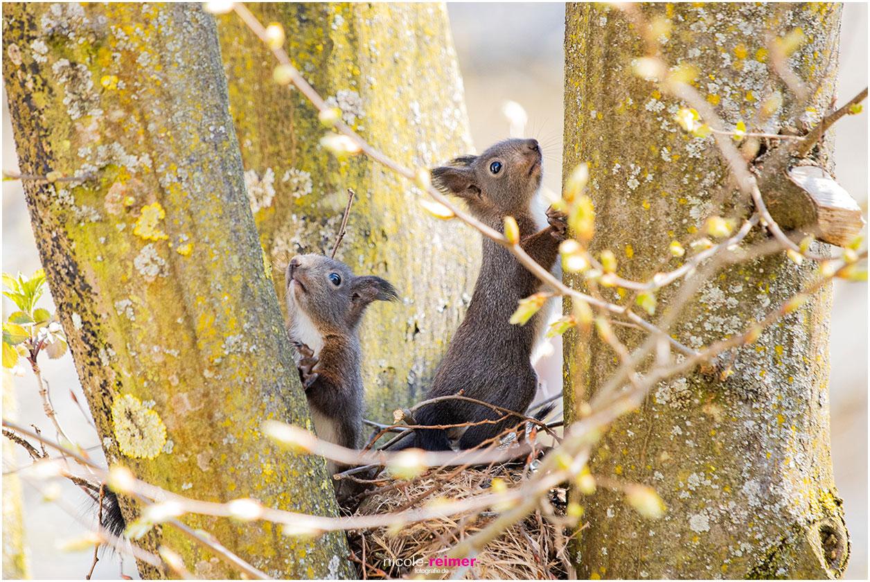 Kleine, junge Eichhörnchen sitzen auf dem Kobel und entdecken die Welt - Nicole Reimer Fotografie