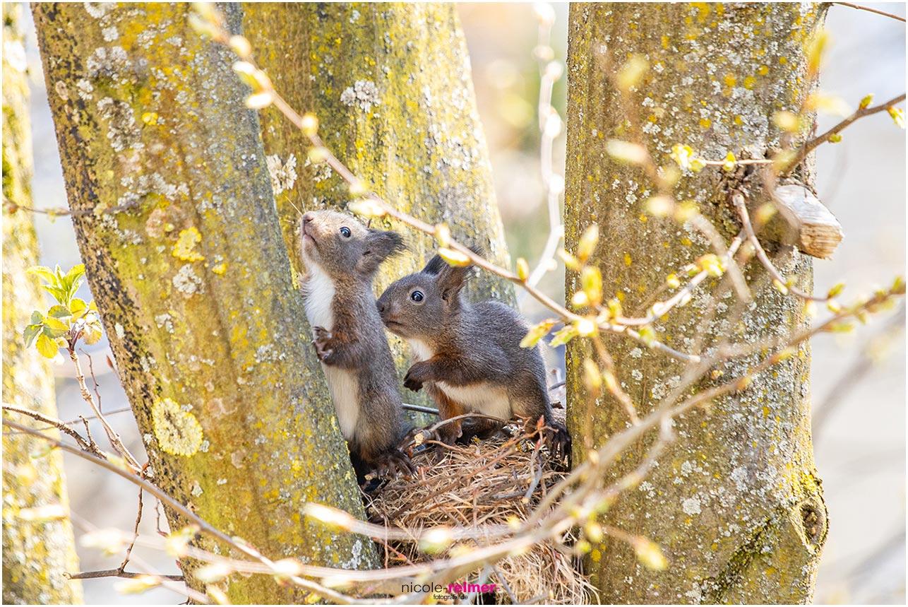 Kleine Eichhörnchenjungen schauen den Baum hinauf - Nicole Reimer Fotografie