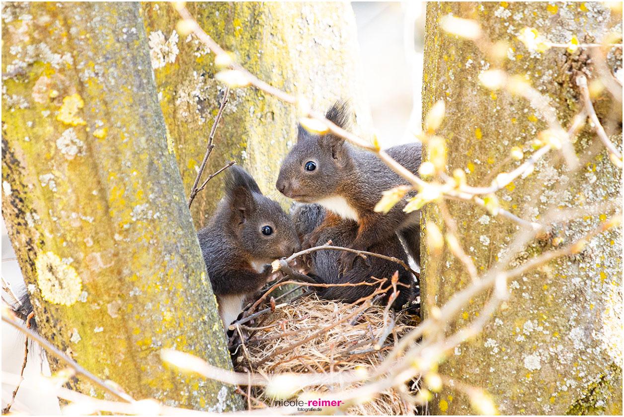 Baby Eichhörnchen sitzen auf dem Kobel und beschnuppern alles - Nicole Reimer Fotografie