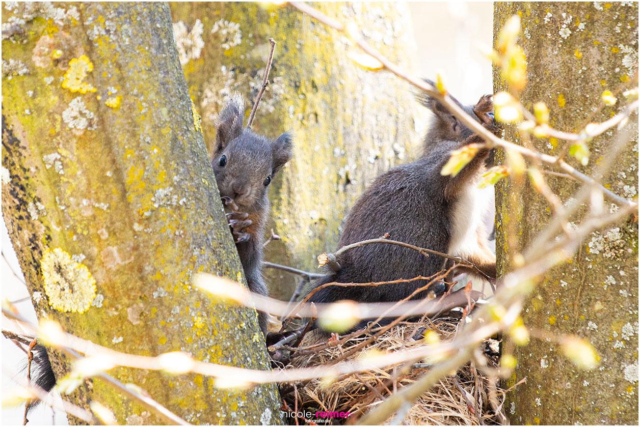 Ein junges, braunes Eichhörnchen schaut hinter einem Ast hervor - Nicole Reimer Fotografie