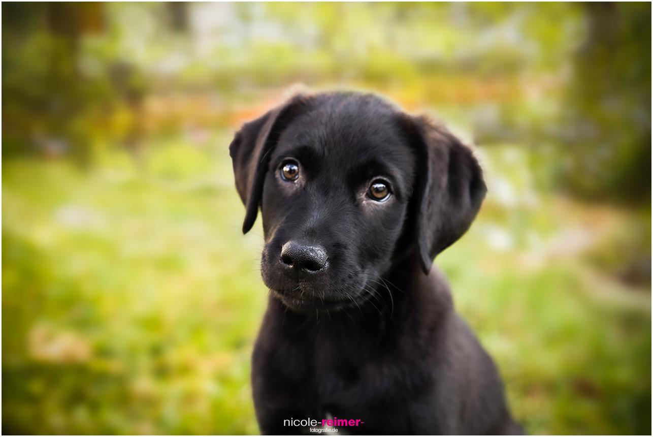 Dana, das Hundebaby guckt drollig in die Kamera - Nicole Reimer Tierfotografie