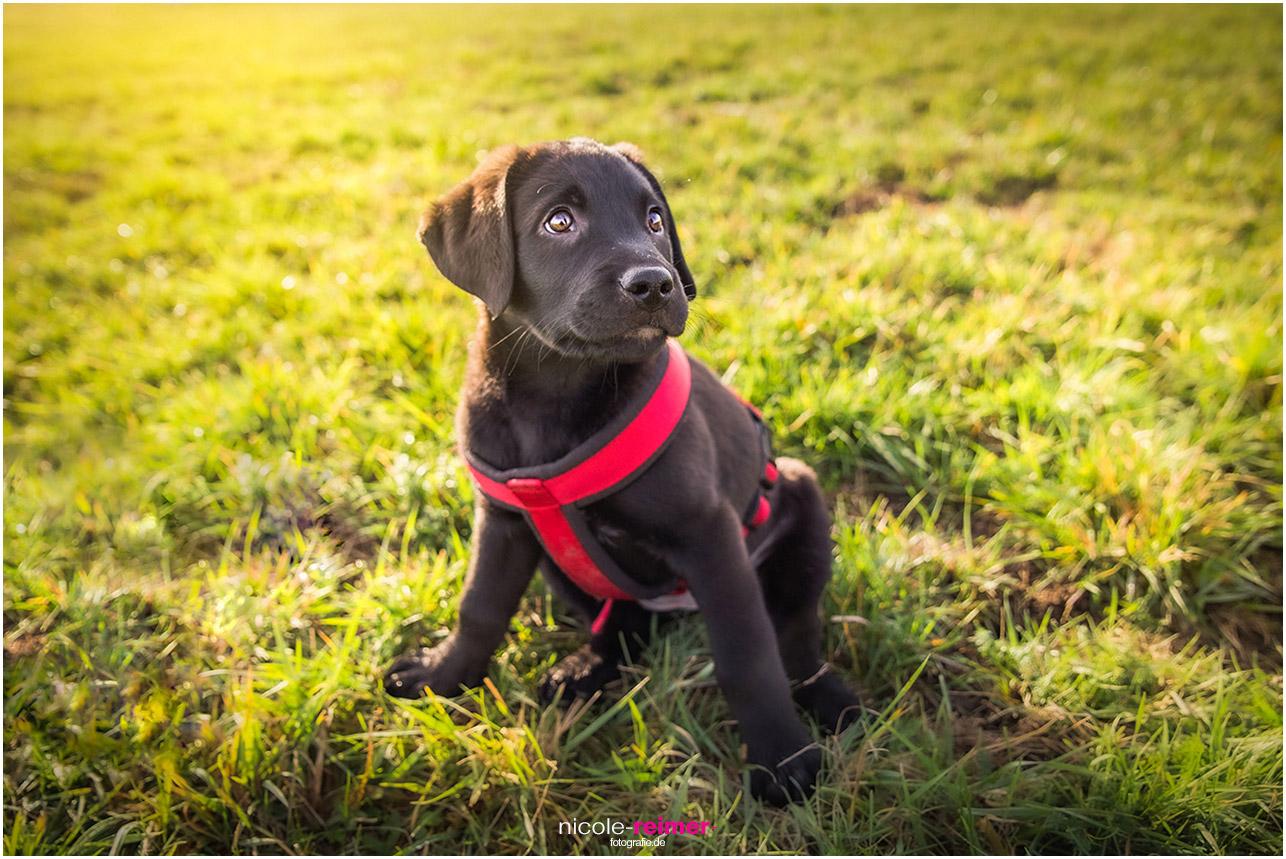 Hundewelpe Dana beim Spaziergang - Hunde-Fotoshooting - Nicole Reimer Fotografie