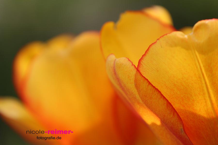 Tulpen im Sonnenschein