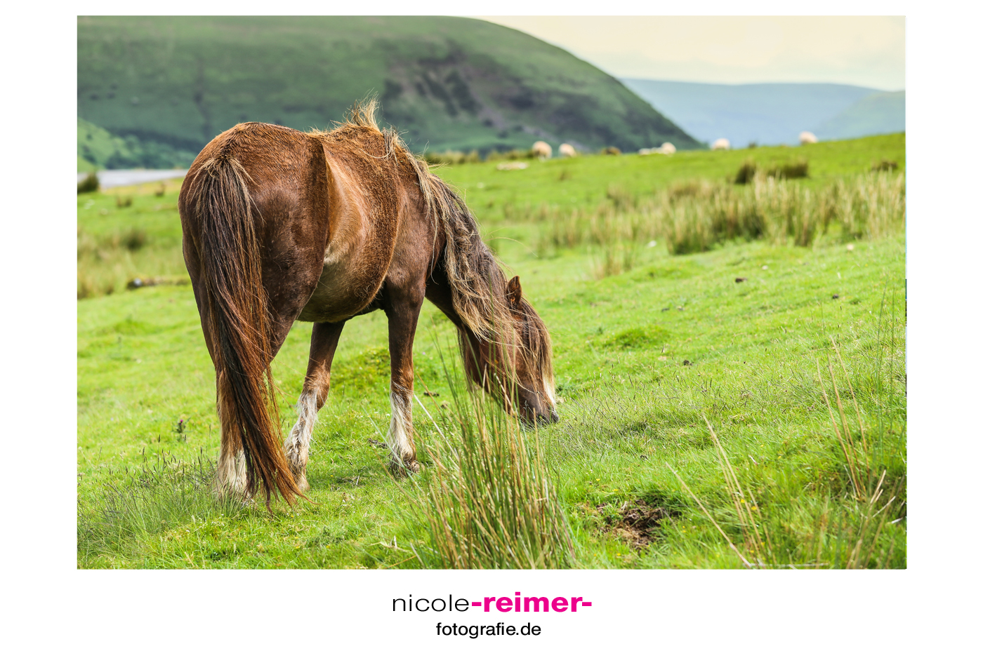 Welsh-Pony-Brecon-Beacons-Wales