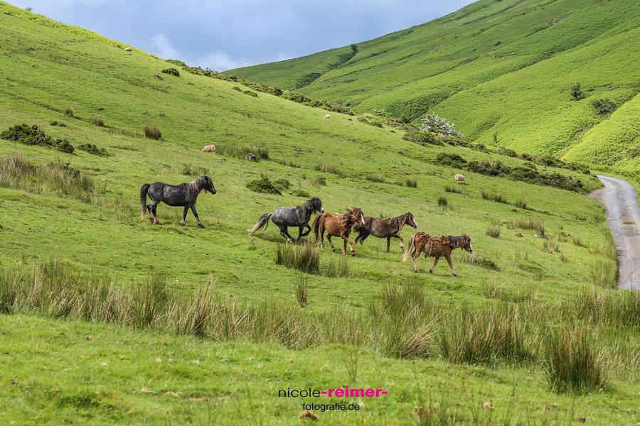 Welsh-Pony3