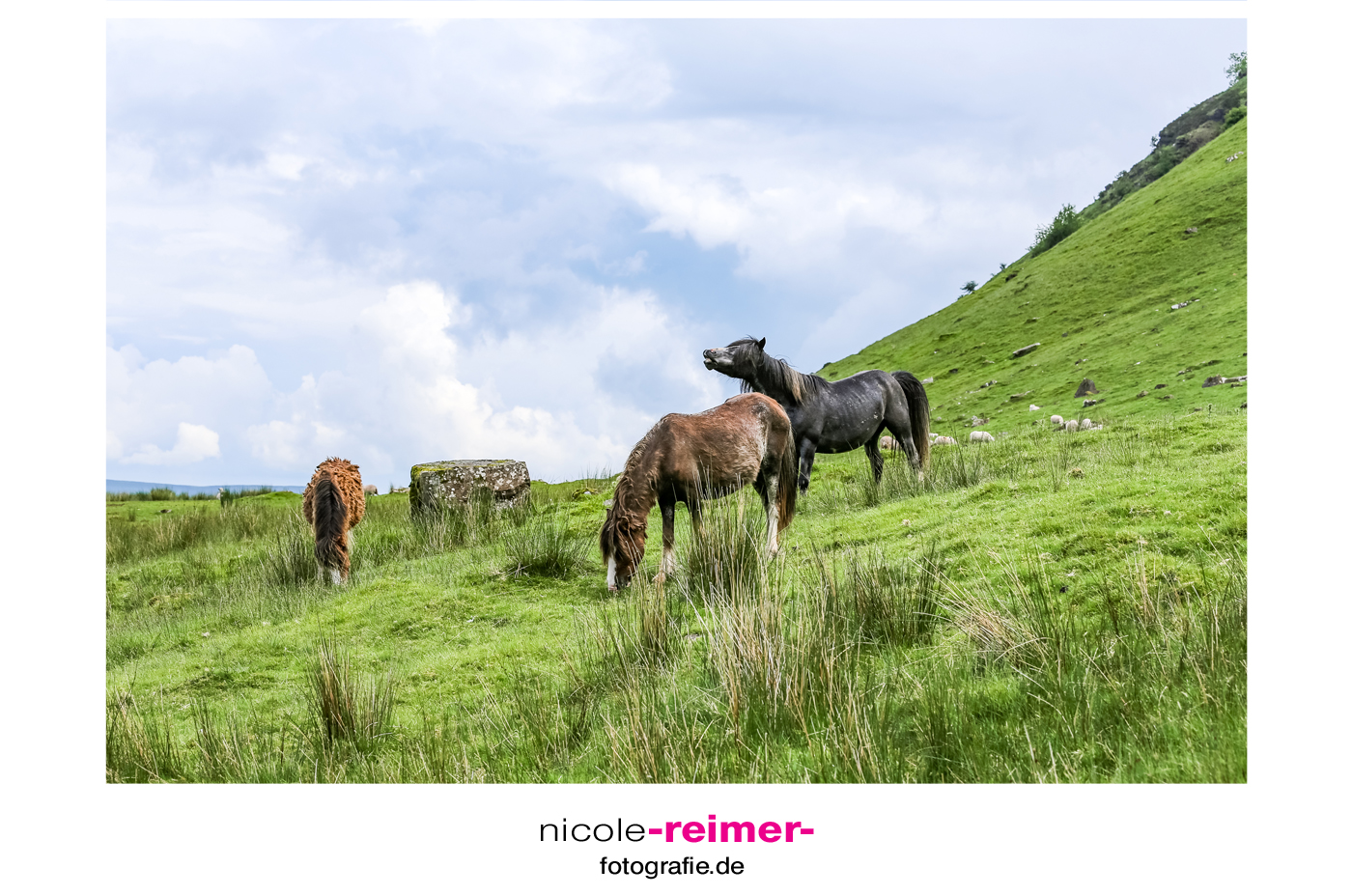 Welsh-Ponys-im-Brecon-Beacon-Nationalpark-Wales-2
