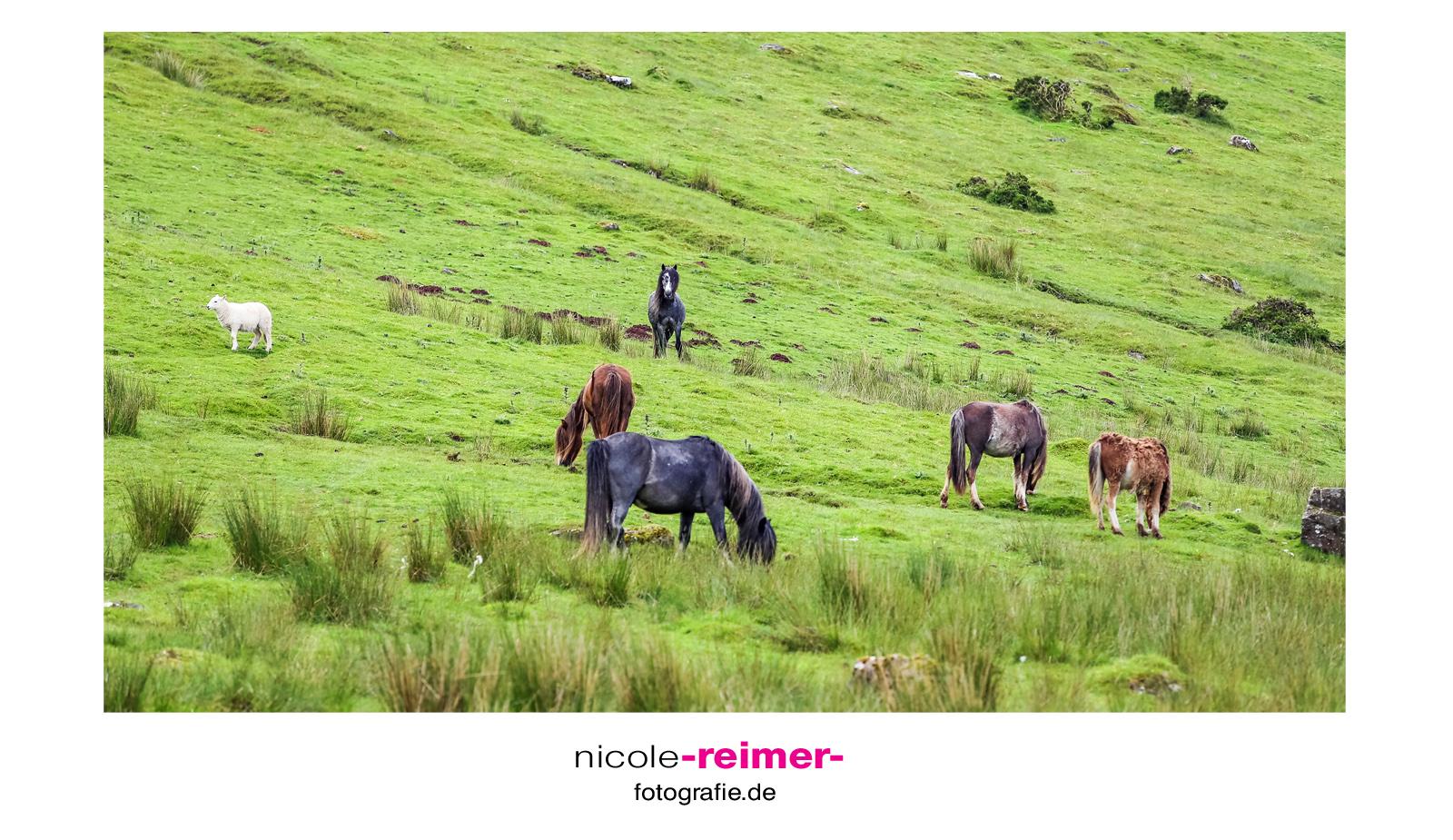 Welsh-Ponys-im-Brecon-Beacon-Nationalpark-Wales